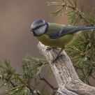 Blue Tit (Cyanistes caeruleus)
